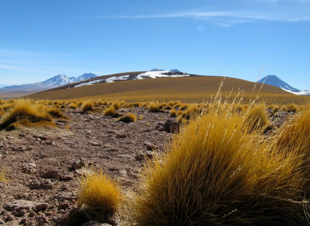 Grasses near a laguna in the altiplano. Photo: Steve Peterson